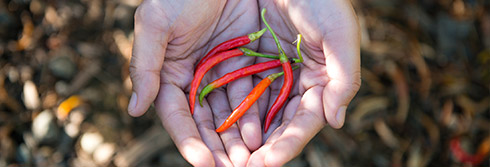 hands holding four thin red chiles
